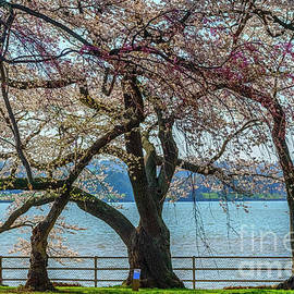 Japanese Flowering Cherry Trees by Thomas R Fletcher