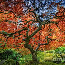 Japanese Maple Tree by Inge Johnsson