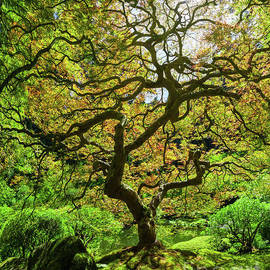 Japanese Maple Tree Panorama  by Michael Ver Sprill