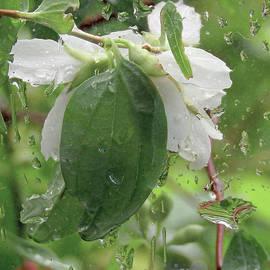 Jasmine In The Rain by Kim Tran