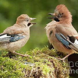 Jay bird parent with young close up by Simon Bratt Photography LRPS
