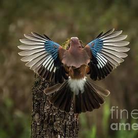 Jayhawk open wings by Alberto Agnoletto