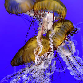 Jellyfish Jumble by Wes and Dotty Weber