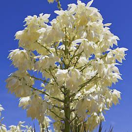 Joshua Tree Flowers by Tatiana Travelways