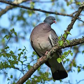 Just talking. Wood Pigeon by Jouko Lehto