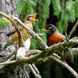 Juvenile and Adult Robin by Susan Hope Finley