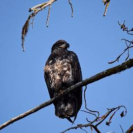 Juvenile Bald Eagle at Wickiup Reservoir by Dana Hardy