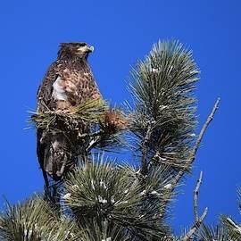 Juvenile Bald Eagle by Dana Hardy
