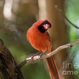 Juvenile Cardinal Male by Bob Marquis