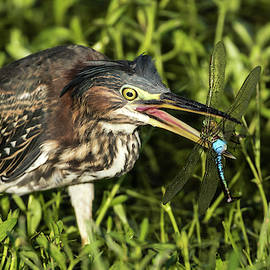 Juvenile Green Heron Grabs Dragonfly by Darrell Gregg