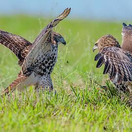 Juvenile Hawk Rivalry by Morris Finkelstein