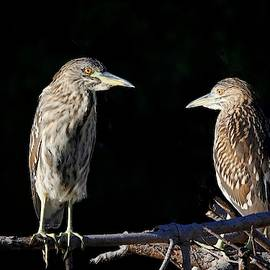 Juvenile Night Herons by HH Photography of Florida