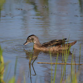 Juvenile Wood Duck by Marlin and Laura Hum
