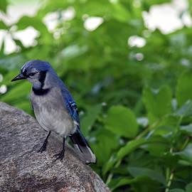 Juvenille Blue Jay by Maria Keady
