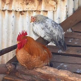 Kenyan Rooster by Marta Kazmierska