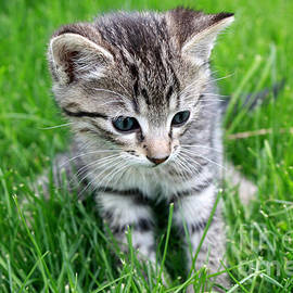 Kitten sitting in green grass by Gregory DUBUS