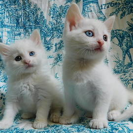 Kittens All White Odd Eyes Long Hair Short Hair Heterochromia Jasko and  Bowie by Pamela Benham