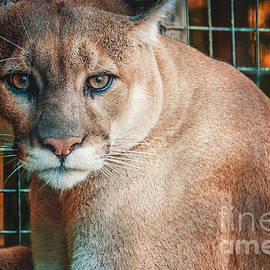 Kitty Cougar Photograph by Stephen Geisel