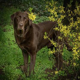 Labrador By Forsythia by Jean Noren
