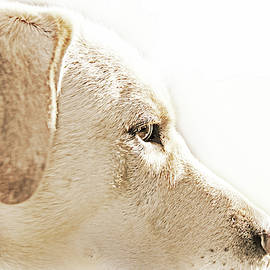 Labrador Retriever Portrait  by Jennie Marie Schell