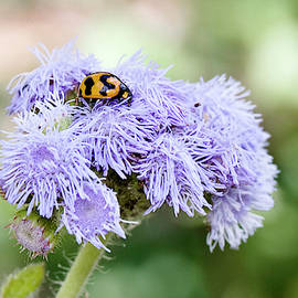 Lady Beetle 6120 by Kevin Chippindall