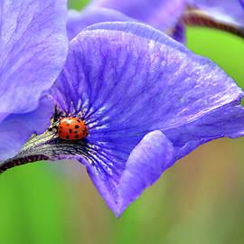 Lady Iris 1 by Debra Orlean