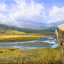 Lamar Valley Yellowstone Coyote by R christopher Vest
