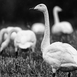 Jouko Lehto - Lambs with wings. Whooper swan bw