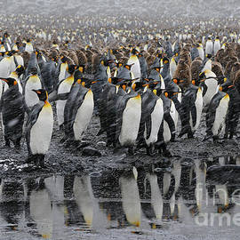 Reflection of King Penguins in Water on South Georgia Island by Tom Schwabel