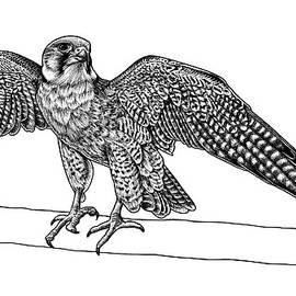 Lanner falcon by Loren Dowding