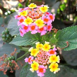 Steven Richard - Lantana Camara Flowers in yellow red pink and orange