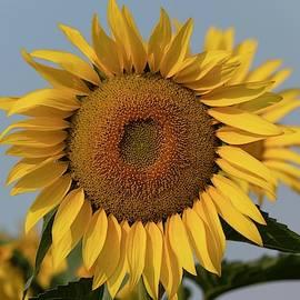 Large sunflower by Lynn Hopwood