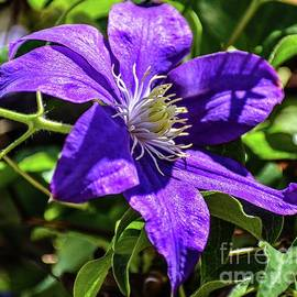 Late Blooming Clematis by Cindy Treger
