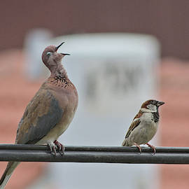 Laughing dove and house sparrow by Hatsofe B