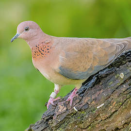 Laughing Dove Perched by Morris Finkelstein