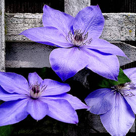 Lavender Clematis on Vine by Julie Palencia