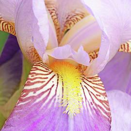 Lavender Heirloom Iris Portrait by Regina Geoghan