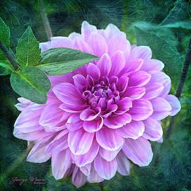 George Moore - Lavender Pink Dahlia