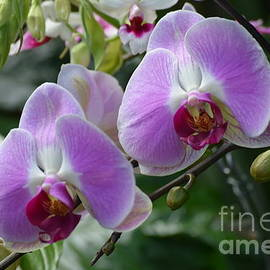 Double Delight Orchids by Jeannie Rhode