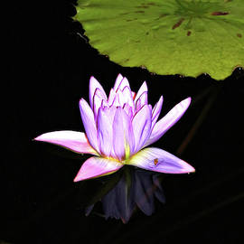 Lavender Water Lily with Reflection by Trina Ansel