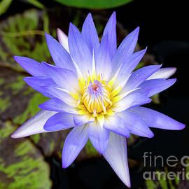 Lavender Waterlily in Summer by Jackie Follett