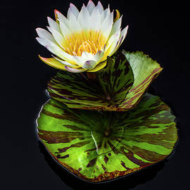 Layered Lily by Ginger Stein