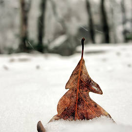 Leaf In Snow by Francis Sullivan