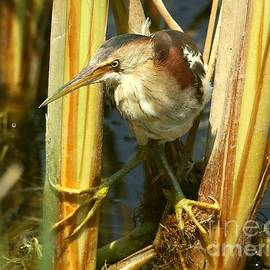 Least Bittern in the reeds by Myrna Bradshaw