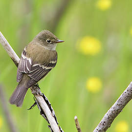 Least flycatcher by Mircea Costina Photography