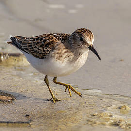 Least Sandpiper 8/20 by Bruce Frye