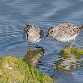 Least Sandpipers Foraging by Morris Finkelstein