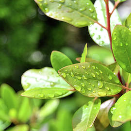 Leaves And Water Drops by Kathy McCabe