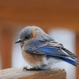 Female Eastern Bluebird by Marilyn DeBlock