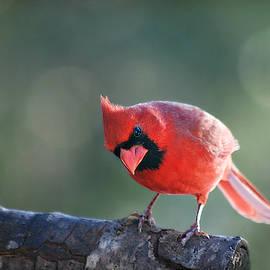 Male Cardinal on Tree Branch by Marilyn DeBlock